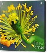 Poppy Seed Capsule 2 Acrylic Print by Kaye Menner