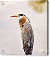 Portrait Of A Great Blue Heron Acrylic Print by Scott Pellegrin