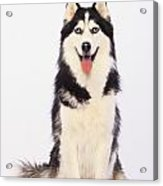 Portrait Of A Siberian Huskybritish Acrylic Print by Thomas Kitchin & Victoria Hurst