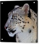 Portrait Of A Snow Leopard Acrylic Print by John Absher