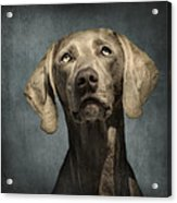 Portrait Of A Weimaraner Dog Acrylic Print by Wolf Shadow  Photography