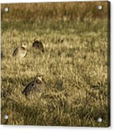 Prairie Chickens After The Boom Acrylic Print by Thomas Young