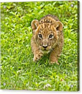 Predator In The Making Acrylic Print by Ashley Vincent