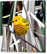 Pretty Little Yellow Warbler Acrylic Print by Elizabeth Winter