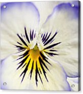 Pretty Pansy Close Up Acrylic Print by Natalie Kinnear