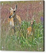 Pronghorn Doe And Fawn Acrylic Print by Karon Melillo DeVega