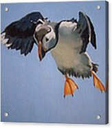 Puffin Landing Acrylic Print by Eric Burgess-Ray
