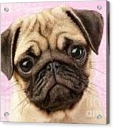 Pug Portrait Acrylic Print by Greg Cuddiford