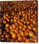 Pumpkins Acrylic Print by Ron Sanford