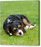 Puppy Asleep With Garden Daisy Acrylic Print by Natalie Kinnear