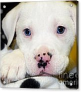 Puppy Pose With 4 Spots On Nose Acrylic Print by Peggy  Franz