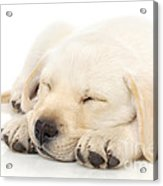 Puppy Sleeping On Paws Acrylic Print by Johan Swanepoel