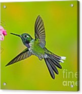 Purple-bibbed Whitetip Hummingbird Acrylic Print by Anthony Mercieca
