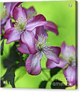 Purple Clematis Acrylic Print by Sylvia Cook