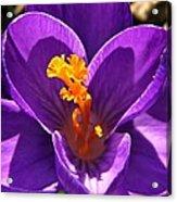 Purple Crocus Detail Acrylic Print by Chris Berry