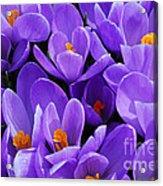 Purple Crocus Acrylic Print by Elena Elisseeva