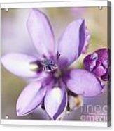 Purple Geranium 2 Acrylic Print by Artist and Photographer Laura Wrede