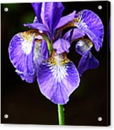 Purple Iris Acrylic Print by Adam Romanowicz