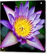 Purple Lotus  Acrylic Print by Raimond Klavins