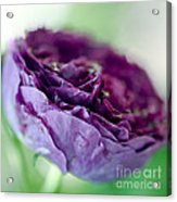 Purple Rose Acrylic Print by Frank Tschakert