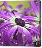 Purple Senetti Iv Acrylic Print by Cate Schafer