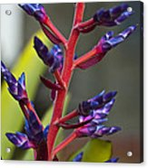 Purple Spike Bromeliad Acrylic Print by Sharon Cummings
