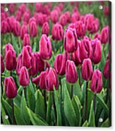 Purple Tulips Acrylic Print by Inge Johnsson