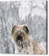 Pyrenean Shepherd Dog Acrylic Print by Jean-Paul Ferrero