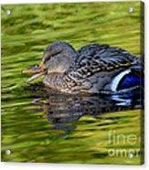 Quack Acrylic Print by Sharon Talson