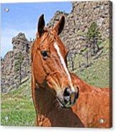 Quarter Horse Portrait Montana Acrylic Print by Jennie Marie Schell