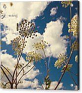 Queen Anne Lace And Sky I Acrylic Print by Jenny Rainbow