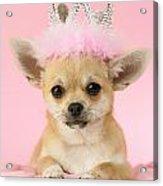 Queen Chihuahua Acrylic Print by Greg Cuddiford