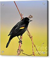 Radiant Red-winged Acrylic Print by Al Powell Photography USA