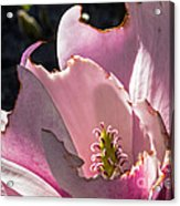 Ragged Magnolia Acrylic Print by Kate Brown