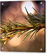 Rain Droplets On Pine Needles Acrylic Print by Loriental Photography