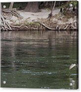 Rainbow Trout Jumping Way Out Of The Water Acrylic Print by Scott Lenhart