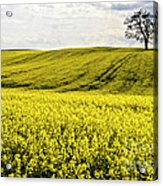 Rape Landscape With Lonely Tree Acrylic Print by Heiko Koehrer-Wagner