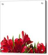 Red Alstroemeria Acrylic Print by Anne Gilbert