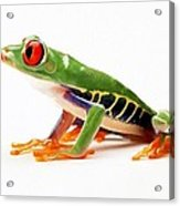 Red-eye Tree Frog 4 Acrylic Print by Lanjee Chee