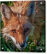 Red Fox Acrylic Print by Bianca Nadeau