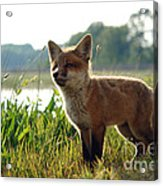 Red Fox Kit Acrylic Print by Olivier Le Queinec
