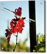 Red Grape Leaves Acrylic Print by Charmian Vistaunet