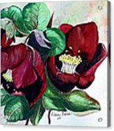 Red Helleborous Acrylic Print by Karin  Dawn Kelshall- Best