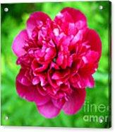 Red Peony Flower Acrylic Print by Edward Fielding