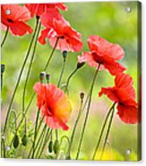 Red Poppies Acrylic Print by FunCards