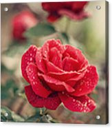 Red Rose After Rain Acrylic Print by Diana Kraleva