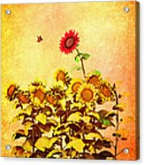 Red Sunflower Acrylic Print by Bob Orsillo