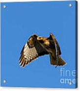 Red-tail Hover Acrylic Print by Mike  Dawson