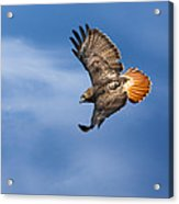 Red-tailed Hawk Soaring Square Acrylic Print by Bill Wakeley