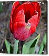 Red Tulip In Garden Acrylic Print by Susan Leggett